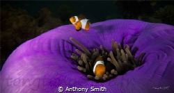 Couple of clownfish by Anthony Smith